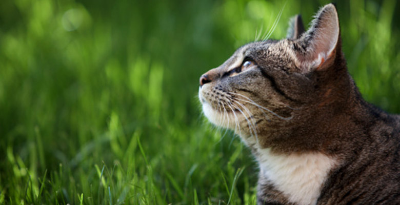Grey tabby cat laying in the grass